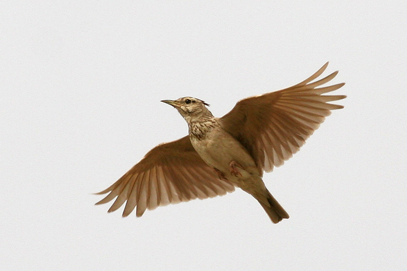 Crested lark galerida cristata birds