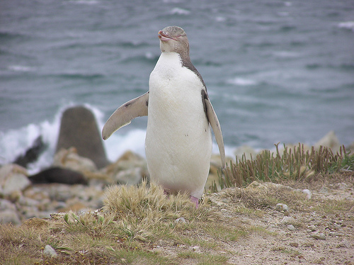 2127779087 166174a881 Yellow eyed Penguin