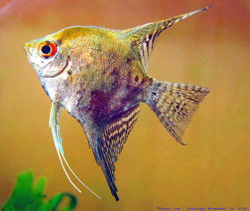 3033577103 f80cb2e399 Angelfish