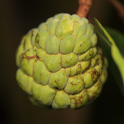 4151813068 cb261a2e85 Sugar Apple