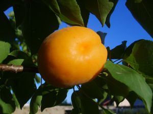 913550 young apricot Apricot