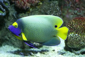 angelfish Marine Angelfish