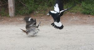 1190359 bird fight Australian Magpie