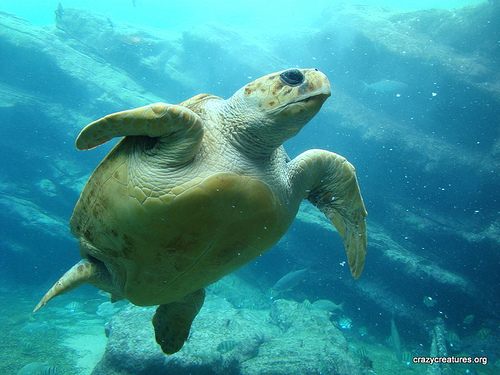 4419918621 7d4593e4e7 Loggerhead sea turtle