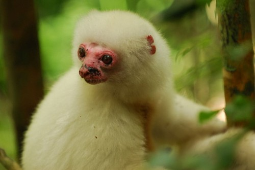 800px Silky Sifaka Pink Face Closeup e1288456357720 Silky Sifaka