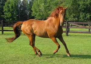 canter Thoroughbred