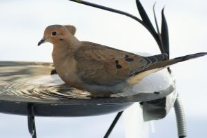 mourning dove bath Mourning Dove