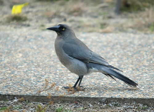 1026198302 4eae99d8aa1 Grey Currawong