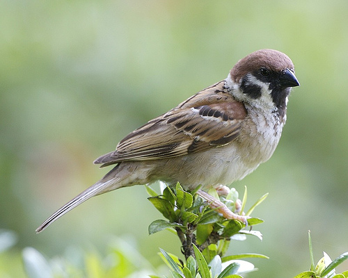 2374267232 a51be24e55 Eurasian Tree Sparrow