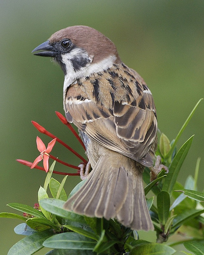 2374268038 64989c5308 Eurasian Tree Sparrow