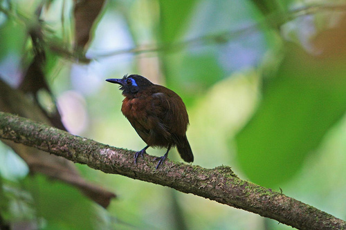 chestnut backed antbird Antbird