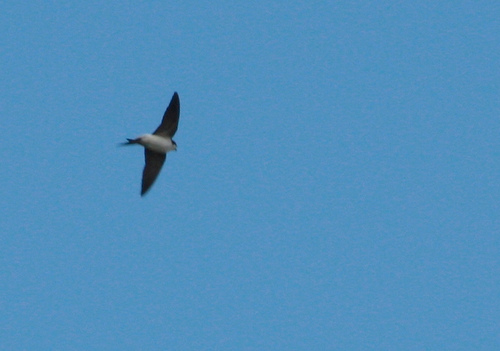 4634702221 0f829ed95f Common House Martin