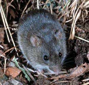 Oryzomys palustris in vegetation1 Marsh Rice Rat