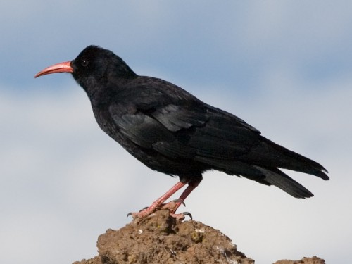 Pyrrhocorax pyrrhocorax e1292684430572 Red Billed Chough