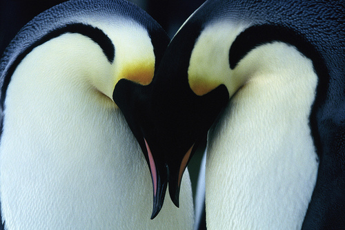 love Emperor Penguin