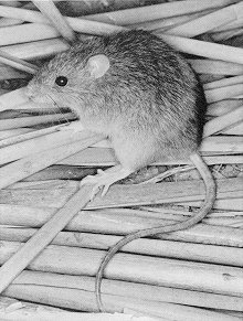 oryzcoue Coues Rice Rat