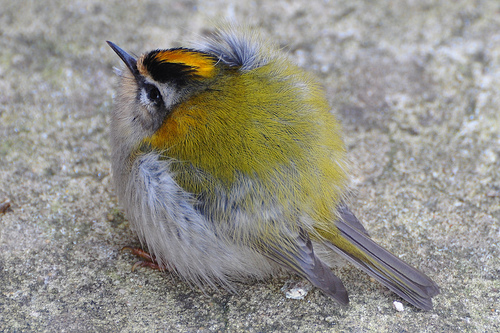 3185096561 14283b70e7 Common Firecrest