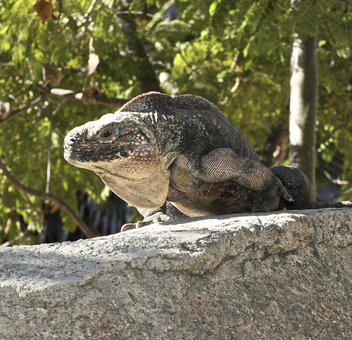 4576266511 28e48b1872 Cuban rock iguana