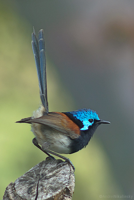 5242761566 d3e1cdb7ae z Red winged Fairywren