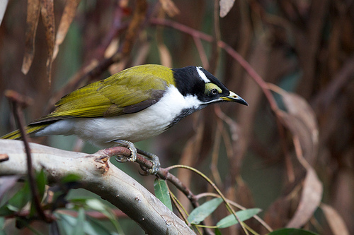 juvenile Blue faced Honeyeater