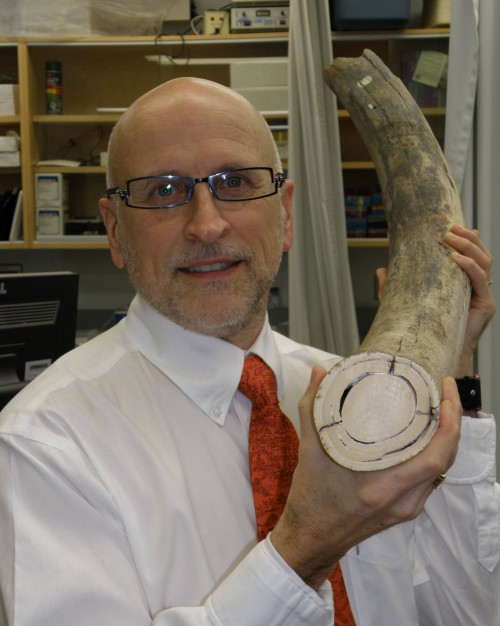 new mammoth tusk e1295853030817 Ancient Mammoth Tusks = Cure for Modern Medicine