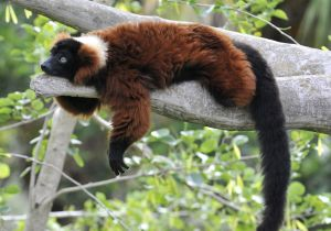 red ruffed lemur Lemur