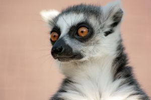 ring tailed lemur Lemur