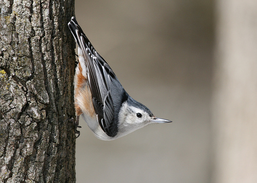 white breasted nuthatch going down a tree White breasted Nuthatch