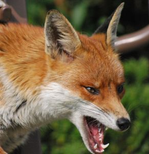fox Fox Bites Woman for Shooing it Away