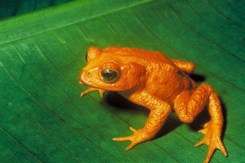 Bufo periglenes e1300852098251 10 Animals Who Were Forced Into Extinction