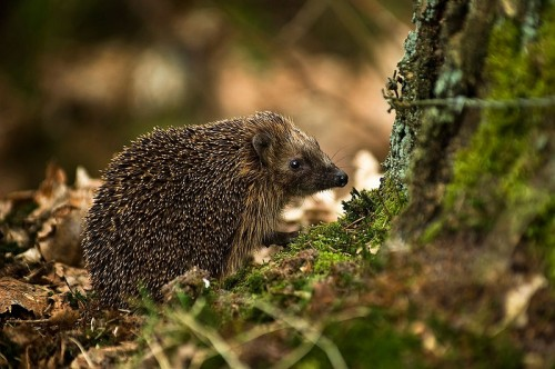 European Hedgehog e1300853375186 10 of the Worlds Spikiest Living Things
