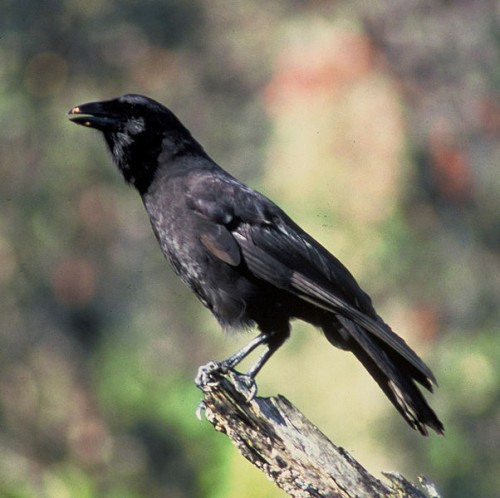 Hawaiian Crow e1300083515842 10 of the Worlds Rarest Birds