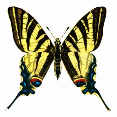 Iphiclides podalirius 10 of the Worlds Most Beautiful Butterflies