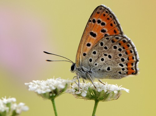 Lycaena thersamon e1299750986319 10 of the Worlds Most Beautiful Butterflies