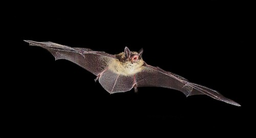 Myotis lucifugus e1300521529697 Bat Diet Forensics Aid Conservation