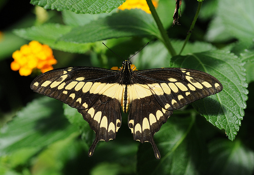 Papilio cresphontes 10 of the Worlds Most Beautiful Butterflies