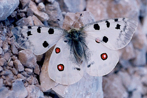 Parnassius apollo 10 of the Worlds Most Beautiful Butterflies