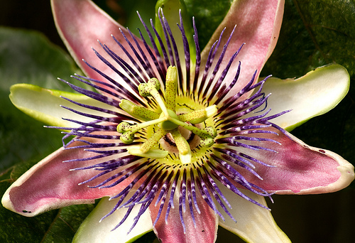 Passion Flower 10 Natural Plants That Can Get You High
