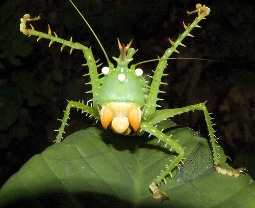 Spike headed Katydid 10 of the Worlds Spikiest Living Things