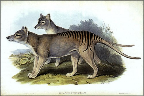 Thylacinus cynocephalus e1300852253395 10 Animals Who Were Forced Into Extinction