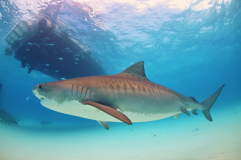The Tiger SharkWorlds Scariest Shark