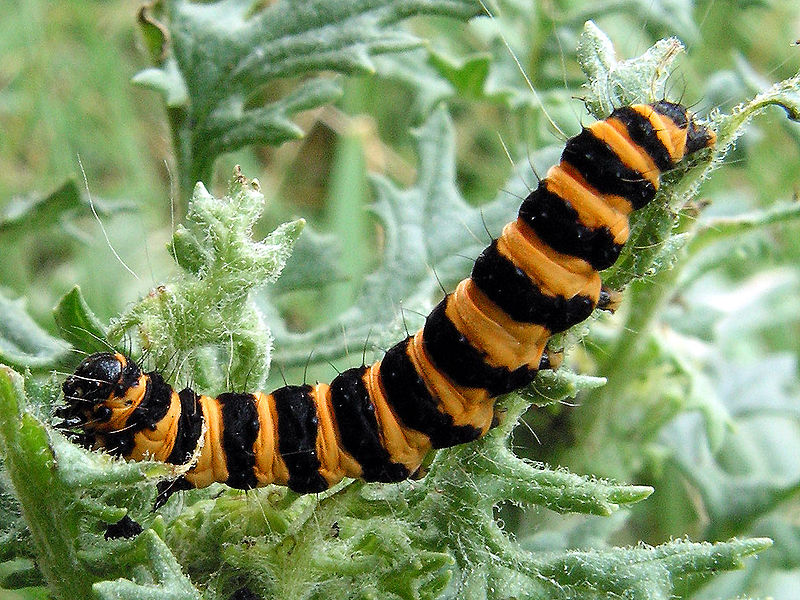 Black And Brown Caterpillars Turn Into 34