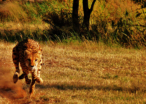 cheetah namibia Amazing Wildlife Expeditions That You Shouldnt Miss