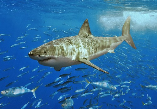 great white shark e1300524753716 The Great White Shark is Endangered