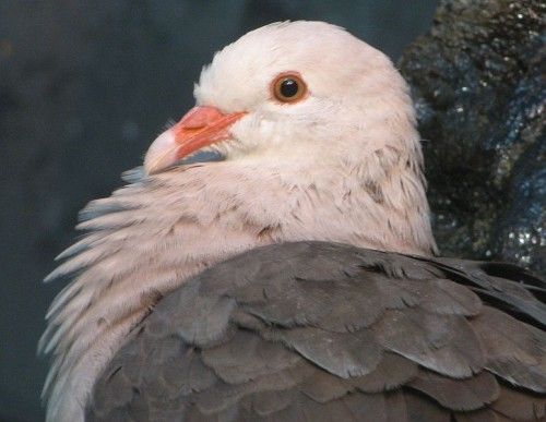 pink pigeon e1300087233833 10 of the Worlds Rarest Birds
