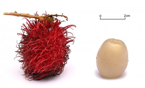 rambutan e1300251968284 10 of the Most Exotic Tropical Fruits on Earth