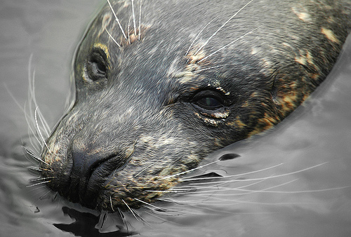 seal Sick Seals Found off the Norfolk Coast