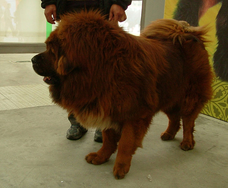 The Tibetan Mastiff goes back