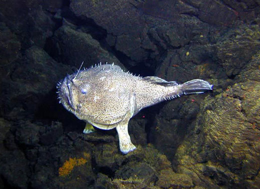 An angler fish lies in wait on young lava flows from Volcano W
