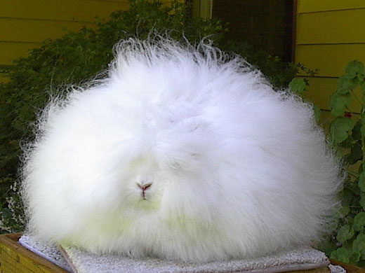 An English Angora Rabbit
